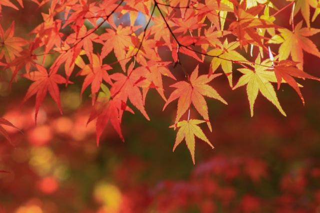 京都紅葉2